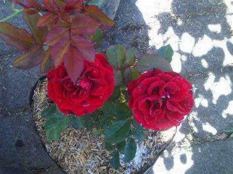 Tanaman Hias Bunga Mawar Floribunda Pink tanaman mawar floribunda merah jual tanaman hias