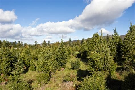 u s forest service issues christmas tree cutting permits