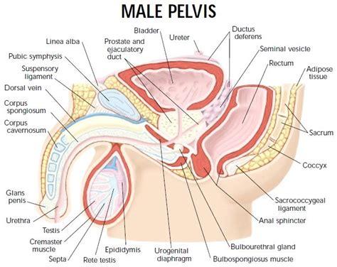 female pelvis sagittal section 134 best uni images on pinterest cranial nerves anatomy