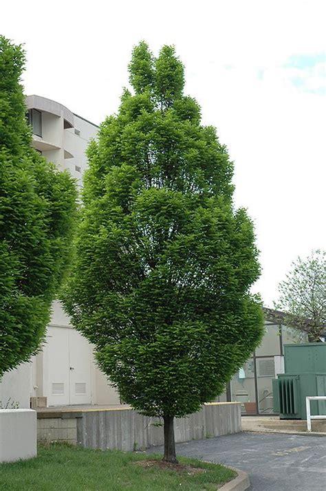 upright european hornbeam carpinus betulus fastigiata