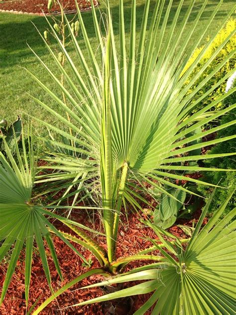 images  northern palm trees  pinterest