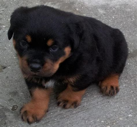 rottweiler puppies malaysia rottweiler puppy sold 5 years 5 months rottweiler from kepong kuala lumpur