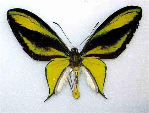 Sayap Wings Sayap Bidadari 45x35cm jenis dan gambar kupu kupu langka dan dilindungi di
