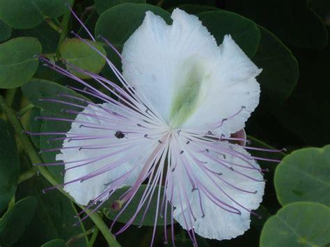 fiore di cappero fiore di cappero viaggi vacanze e turismo turisti per caso