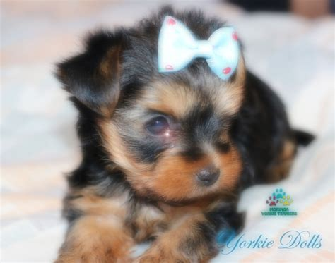yorkie hair care products yorkie moringa fresh and fly yorkie shoo organic pet shoo yorkie