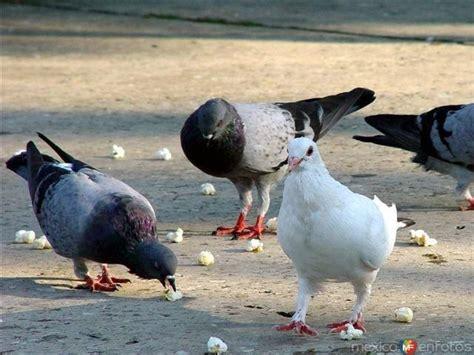 comen las palomas respuestastips