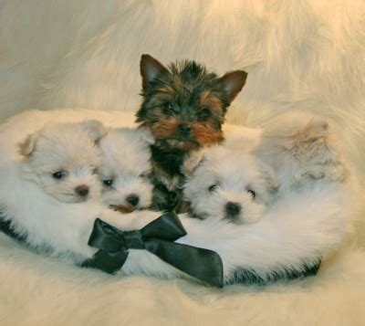 teacup yorkies for sell ldopa net 187 archive 187 re omg maltese puppies 1