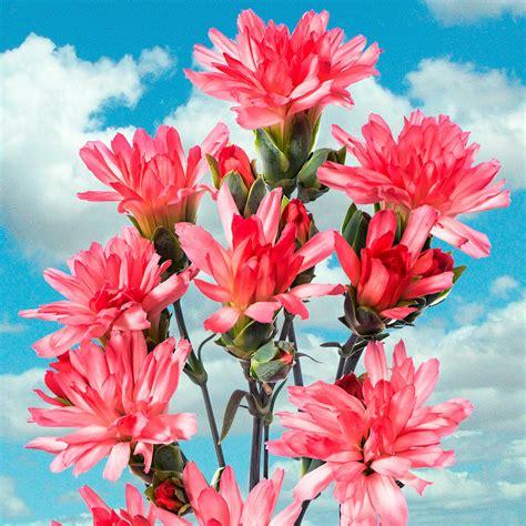Nelken Garten Pflanzen by Garten Nelke Tiara 174 Coral Pink Kaufen Bei G 228 Rtner