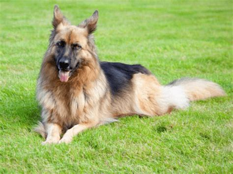 German Shepherd Shedding Solution by 5 Simple Steps To Grooming Your German Shepherd S Thick