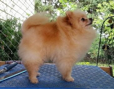 pomeranian ontario classypoms pomeranian puppies for sale in ontario canada