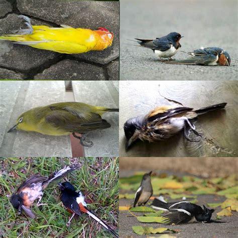 Obat Cacing Untuk Burung burung cacingan jenis penyebab gejala mencegah dan