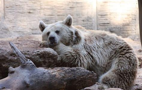 polar fur color what color is a polar s fur hubpages