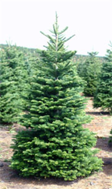 grandinroad noblis fir tree for sale noble mountain tree farm