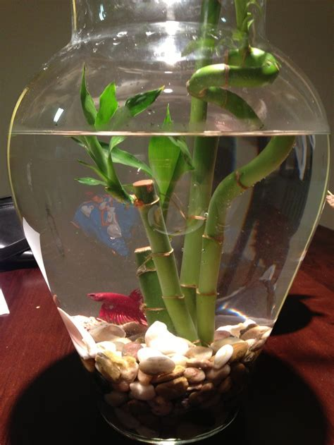 Betta Fish In Vase With Bamboo by 65 Best Images About Goldfish Betta Bowls On Betta Fish Tank Vase And Water Terrarium