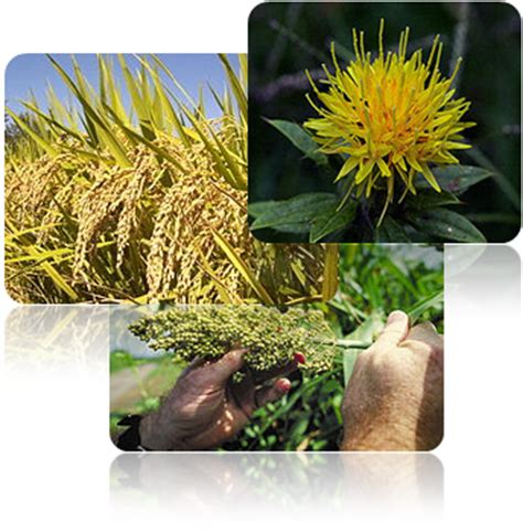 5ar dht foods which lower levels problems with high or low dht use rice or safflower to