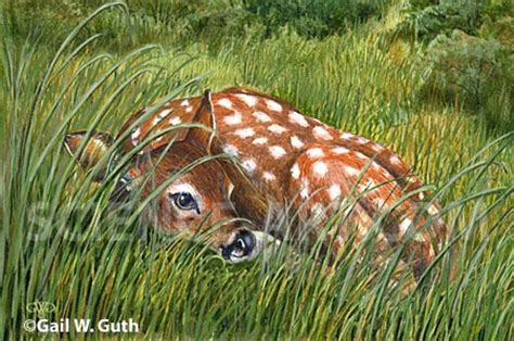 fawn island books whitetail fawn detail illustration science