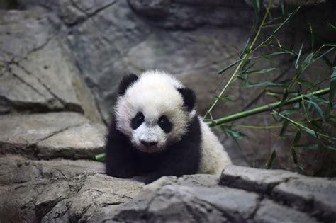 www panda washington s panda obsession the new yorker