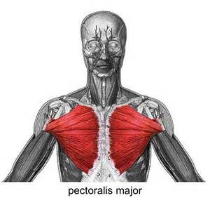 Pec Tear Bench Press An Injury From Doing Bench Presses Pectoralis Major