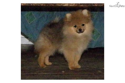 pomeranian breeders oregon pomeranian puppy for sale near eugene oregon 825570e9 7a41