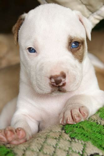 pig dogs blue eyed pig pup flickr photo