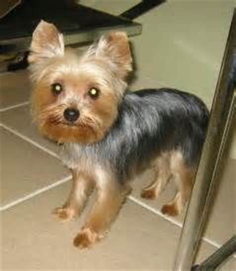 teddy bear yorkie haircut teddy bear yorkie haircut bing images for ratatouille