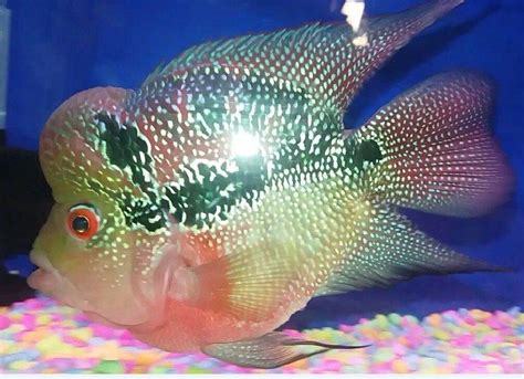 Dari Termurah Sai Termahal louhan bonsai salah satu jenis ikan hias cantik dan