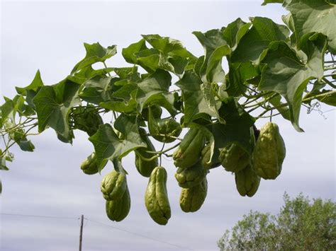 Large Garden Trellis Chu Chu Sechium Edule