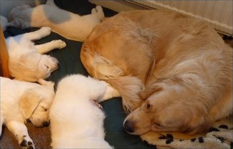 golden retriever puppy nipping golden retriever puppies sleep a lot my image sense breeds picture