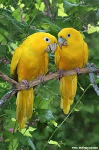 golden conures paul bratescu my favorite parrots pinterest