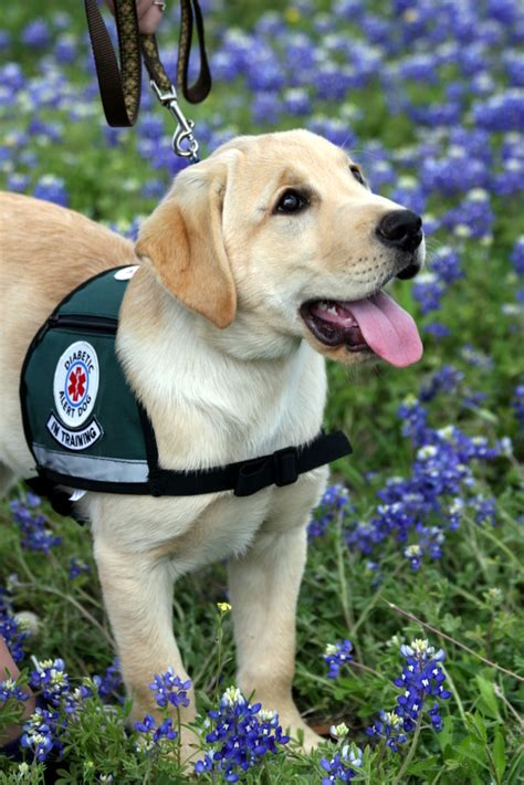 how until a puppy can sleep through the diabetic alert dogs in dallas dads