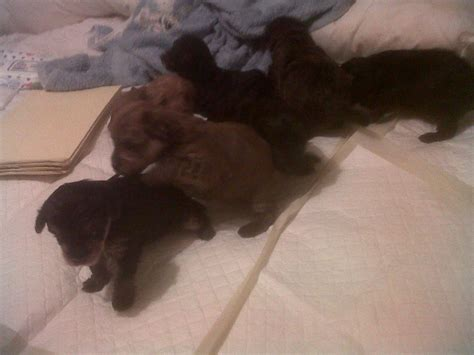 yorkie poo puppies uk yorkie poo puppies manchester greater manchester pets4homes