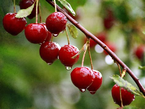 cherry wet from a summer rain wallpapers and images wallpapers pictures photos