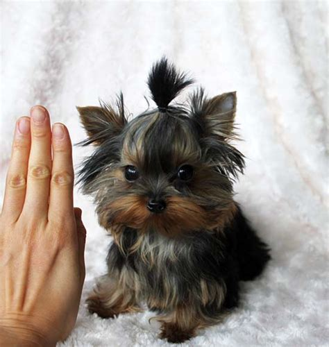 how big are teacup yorkies yorkie puppies with big ears breeds picture