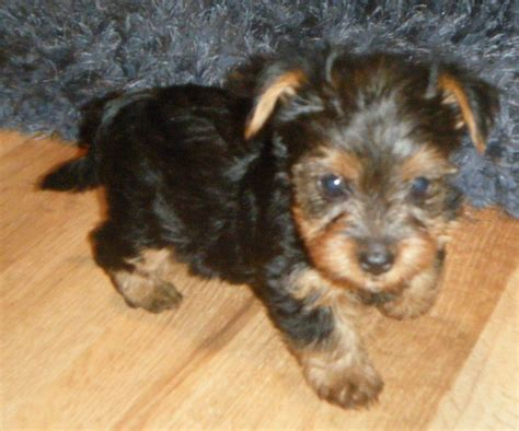 miniature yorkie grown yorkie terrier teacup grown www imgkid the image kid has it