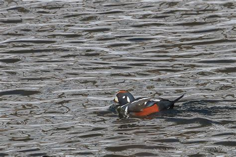 thames river wildlife healthy thames river home to abundance of waterfowl paul