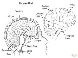 brain color best 25 human brain anatomy ideas on human