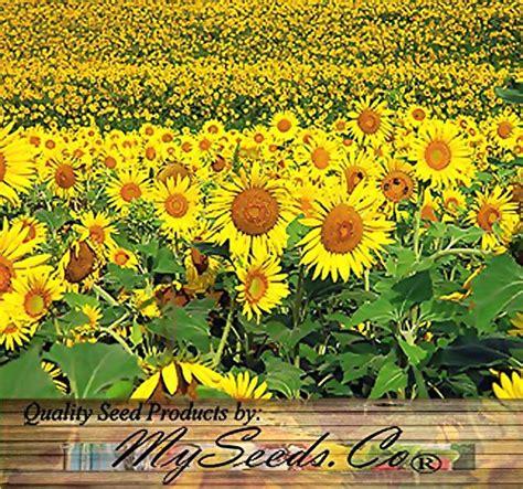 black sunflower seeds for deer 200 peredovik sunflower seeds birds deer favorite plot food wildlife home garden plants