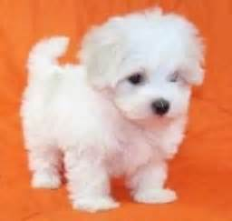 Maltese Puppies Maltese Puppies For Sale Dogs Puppies Oregon Free