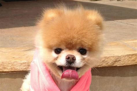 boo the pomeranian sad boo the pomeranian victim of cruel hoax