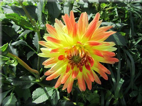 foto per desktop fiori sfondi per desktop i fiori sfondo 002