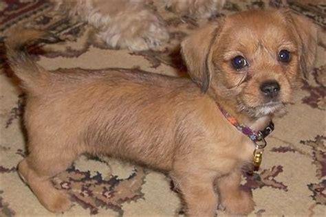 dachshund mix shih tzu schweenie breed information and pictures