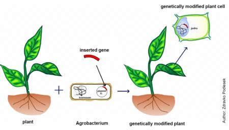 Modified Organism Definition by Genetically Modified Organisms