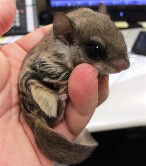 maialino volante biscuit lo scoiattolo volante salvato da un marciapiede