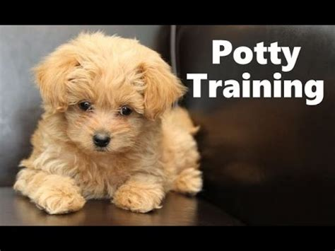 how to potty a havanese puppy pomapoo puppies for sale funnydog tv