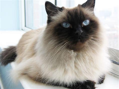 Sho Kucing Dan Harga 15 ciri ciri kucing himalaya jenis harga cara merawat dan gambarnya