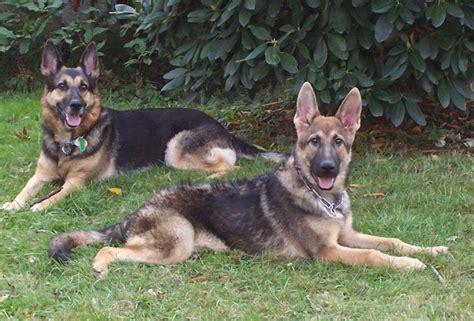 how to choose between female and male dogs 7 steps choosing between a female vs male german shepherd