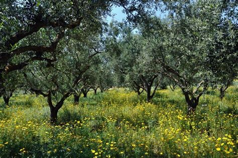 Plantation Home Plans olive trees plantation and wild flowers stock photo