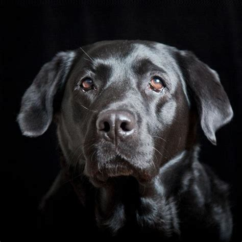 black puppy names black lab names