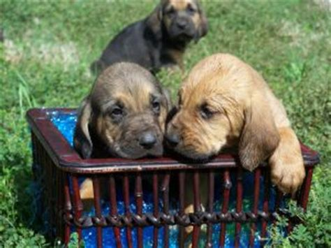 bloodhound puppies for sale in nc bloodhound puppies for sale