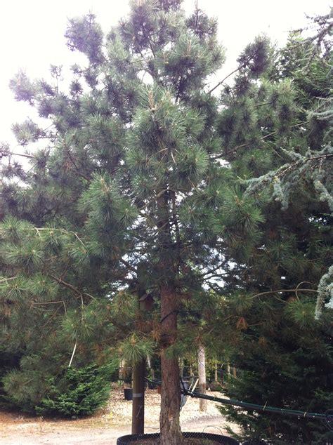 pinus nigra austrian pine  robust evergreen tree